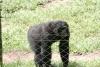 Male Bonobo