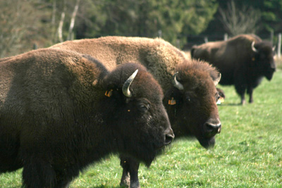 These ladies are not native, but immigrants from North America. My brother lives on a bison farm.